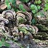 Turkey tails (mushrooms)