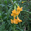 Native Monkey Flower