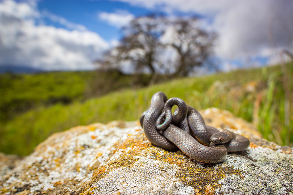 Pacific Ringnecked snake