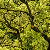 Green shoots of oak