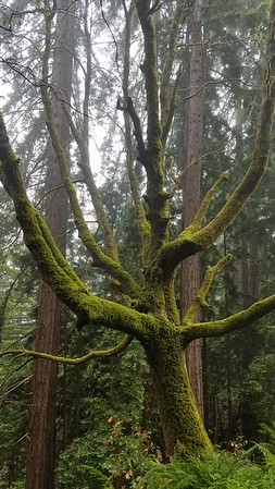 Mossy Tree amongst the Redwoods