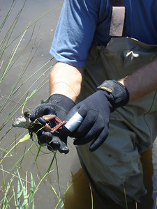Biological Monitor with California red-legged frog