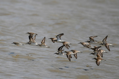 Sand Pipers in Unison