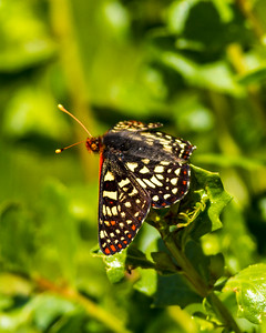 Variable Checkerspot