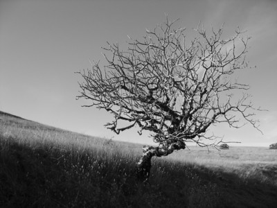 Dave Stein - Ancient Oaks Trail, New Year's Day - Russian Ridge OSP Category: Landscapes