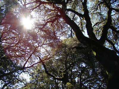 Audrey Moore - Ghost Trees - Saratoga Gap Open Space Preserve Category: Plant Life