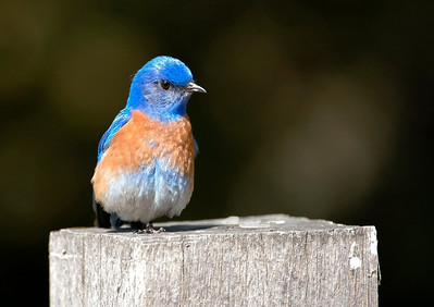 Katja Zuske - A male Western bluebird (Sialia mexicana) rests on a fence post aside the Lower Meadow service road - Rancho San Antonio Open Space Preserve Category: Wildlife