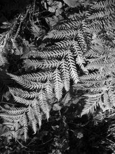 Dave Stein - Fern - Russian Ridge OSP Category: Plant Life