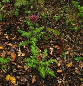 Sue Anawalt  - Indian Warrior - Fremont Older Open Space Preserve Category: Plant Life