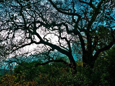 Jan Tuan - Gnarly Tree - Los Trancos Open Space Preserve Category: Plant Life