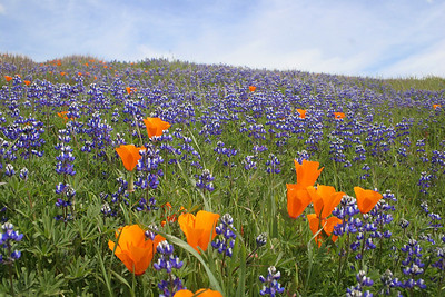 Gary Henry - Lupine & Poppies - Russian Ridge Open Space Preserve Category: Landscapes