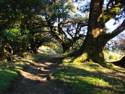 Robert Evans - Ancient Oaks Trail - Russian Ridge OSP Category: Plant Life