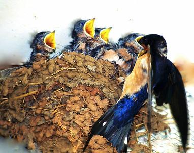 Niki Muller - Barn Swallow and family (Hirundo rustica) - Long Ridge OSP Category: Wildlife