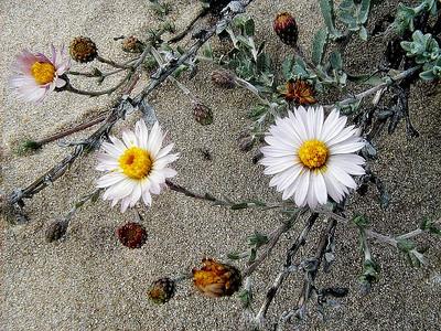 Niki Muller - Seaside Daisy (Erigeron glaucus) - Ravenswood Open Space Preserve Category: Plant Life