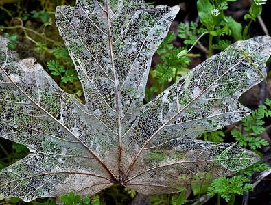 Karl Gohl - Lacy Leaf - Rancho San Antonio OSP Category: Plant Life