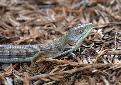 Alligator Lizard at Bear Creek Redwoods Open Space Preserve