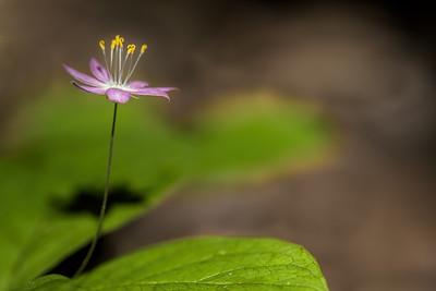 Pacific Star Flower