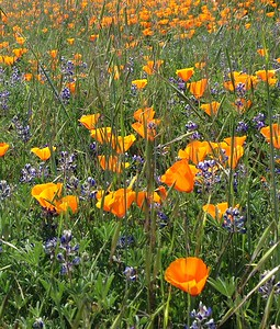 Poppies and Lupine (2)