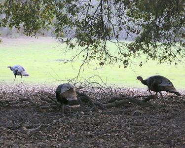 Wild Turkey Cubed