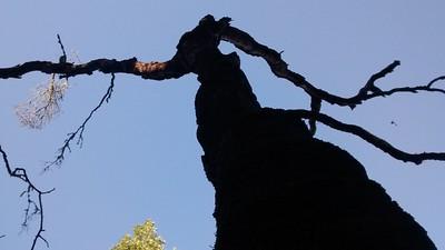 Dead Oak Looks Like a Strange Witch