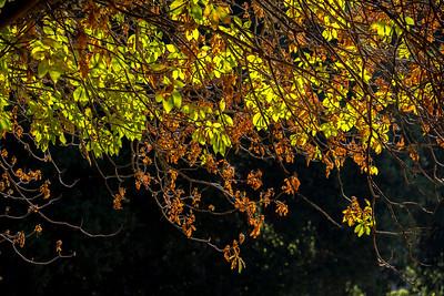 Colorful Buckeye Leaves