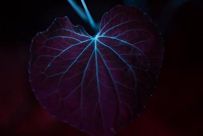 Stream Violet Leaf Fluorescence