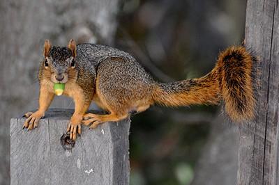 Eastern Fox Squirrel with Acorn