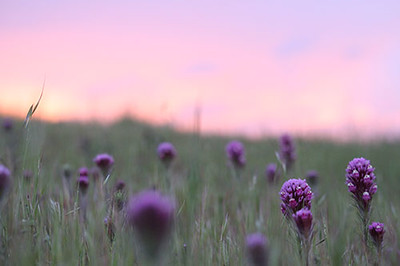 Owls Clover at Sunset