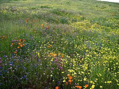 Russian Ridge Wildflowers
