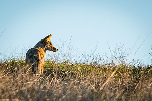 Mama Coyote Watching Day Break
