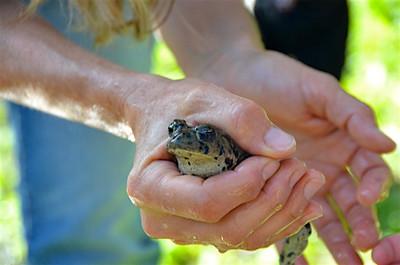 Frog at Picchetti pond