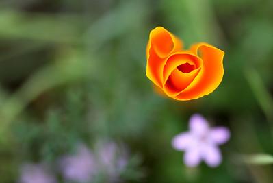 California Poppy Love