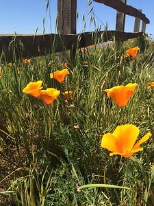 California Poppies make me smile