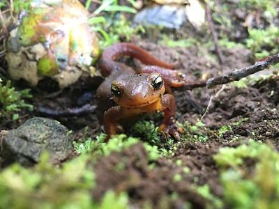 """""""California newt"""" (Taricha torosa) 2"""