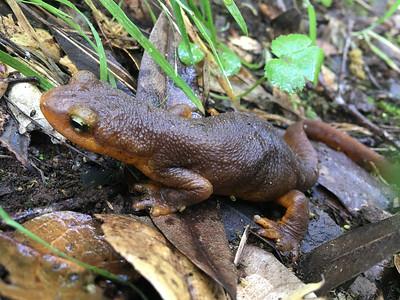 """""""California newt"""" (Taricha torosa)"""