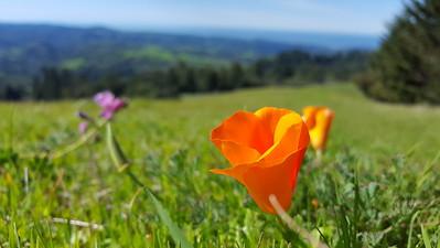 California Poppy enjoying the view