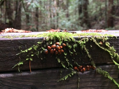 Ladybugs huddles for warmth in October