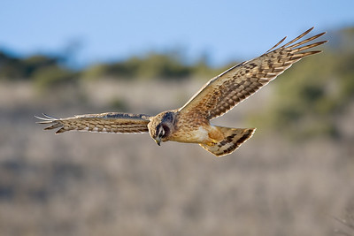 Third Place Prize Winner: Juvenile Northern Harrier Hunting by Karl Gohl - Windy Hill OSP (Spring Ridge Trail)