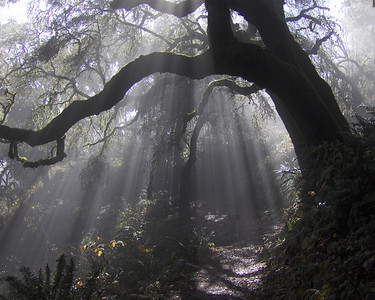 Honorable Mention: Foggy Morning by John Trewin - Windy Hill OSP (Hamm's Gulch Trail)