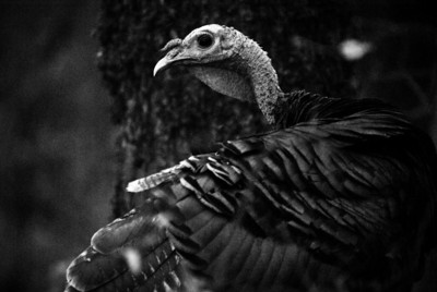 Honorable Mention: Turkey by Eric Lew - Monte Bello OSP (Stevens Creek Nature Trail)
