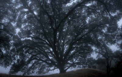 Honorable Mention: Ancient Oak in Fog by Karl Gohl - Russian Ridge OSP (Ancient Oaks Trail)