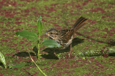 I believe this is a Song sparrow at Windy Hill OSP; often it would be my only company while I waited to catch a glimpse of the Wood duck mom and her ducklings. These small birds would go up to the water's edge and quickly move their feet back and forth to dig up food. by Hazel Holby