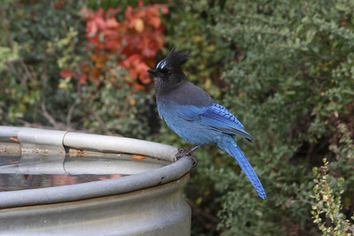A Stellar's jay drops in for a drink at Rancho San Antonio OSP. Other birds in the immediate area included bushtits, vireos, and a thrush, which didn't stick around long enough to have their picture taken.  Rancho San Antonio OSP by Hazel Holby