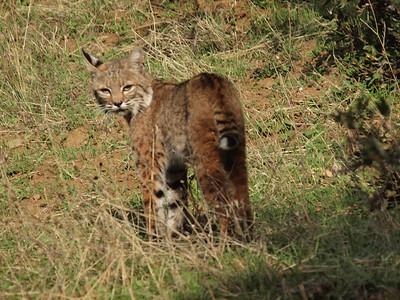Bobcat by Richard Kumaishi