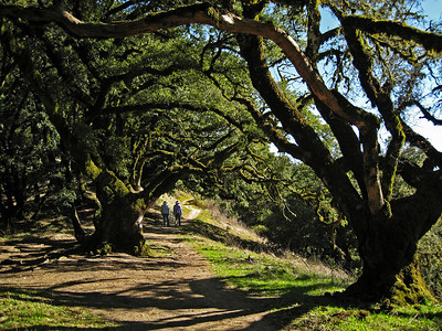 Maurice Hamilton - Hikers among Ancient Oaks  - Russian Ridge OSP
