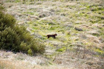 Al Shamble - Bobcat stalking prey  - Russian Ridge