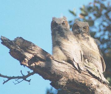 RICHARD KUMAISHI - Great Horned Owls  - Fremont Older OSP
