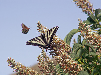 Strether Smith - Swallowtail and Checkerspot on Buckeye  - Monte Bello OSP