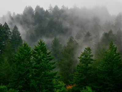 Maurice Hamilton - Redwoods in Fog  - Skyline Ridge OSP