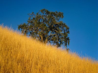 Maurice Hamilton - Lone Oak and Golden Grass  - Monte Bello OSP